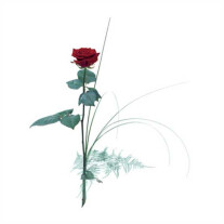 Single flower - Red rose